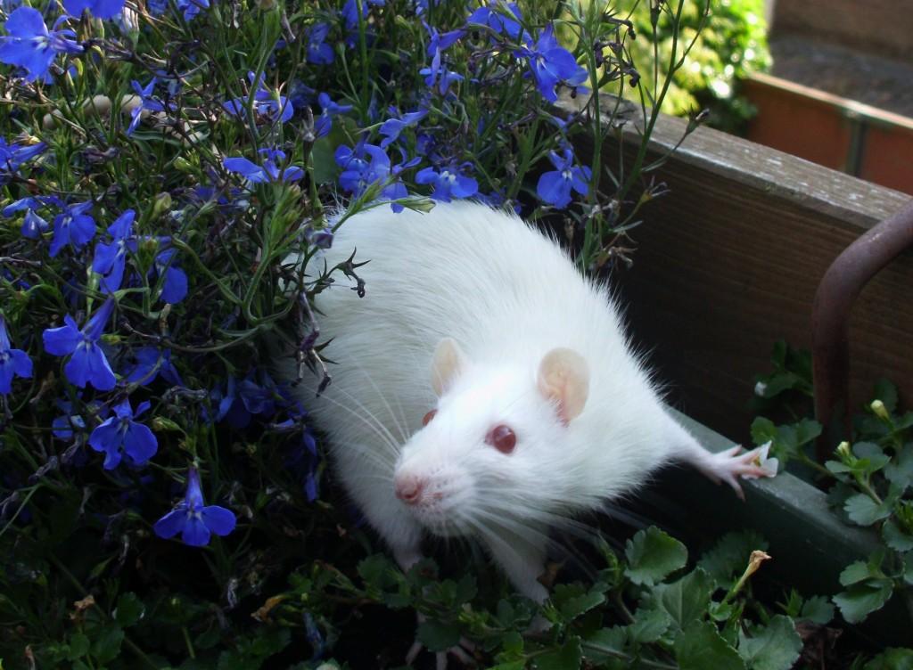 Ratte 01