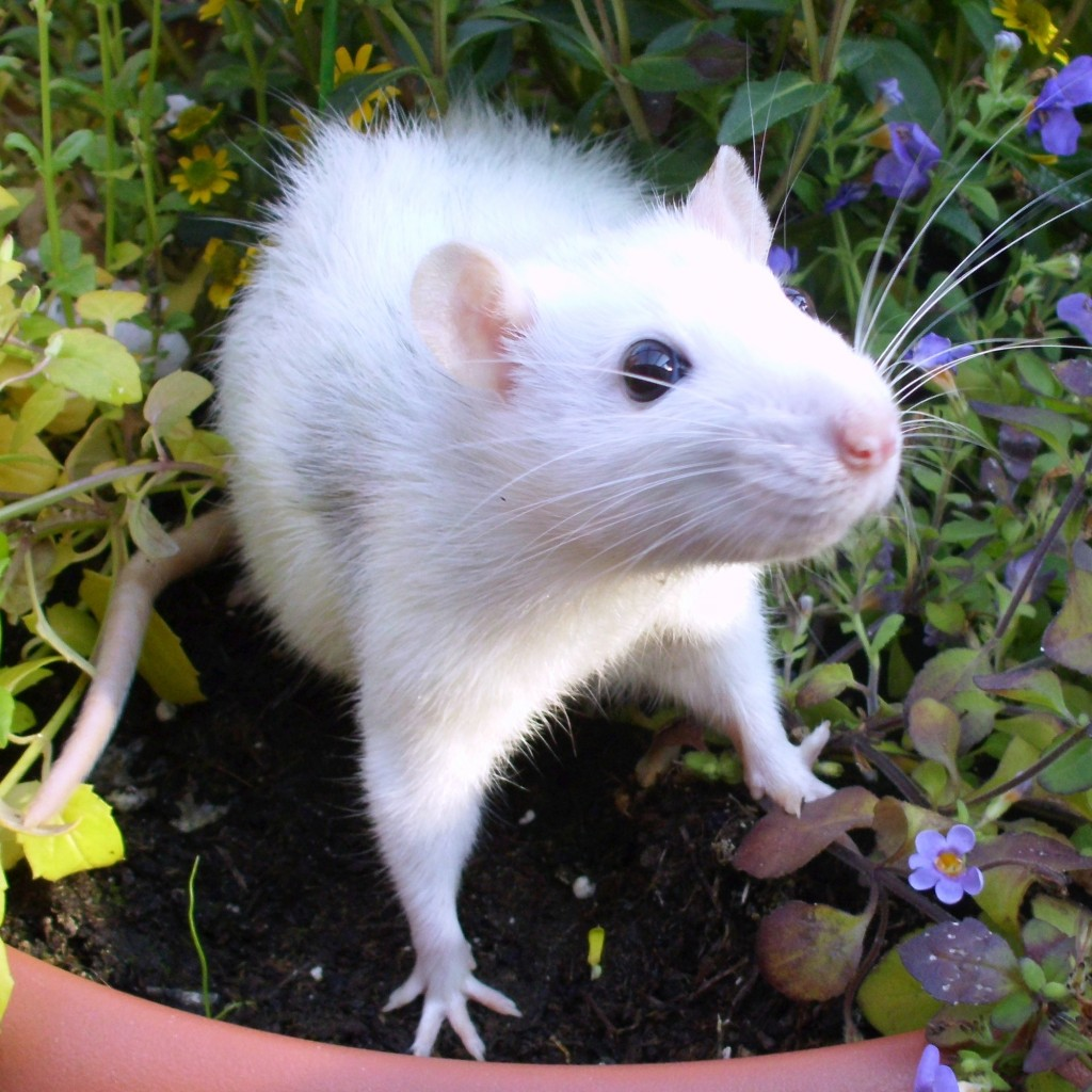 Ratte 00
